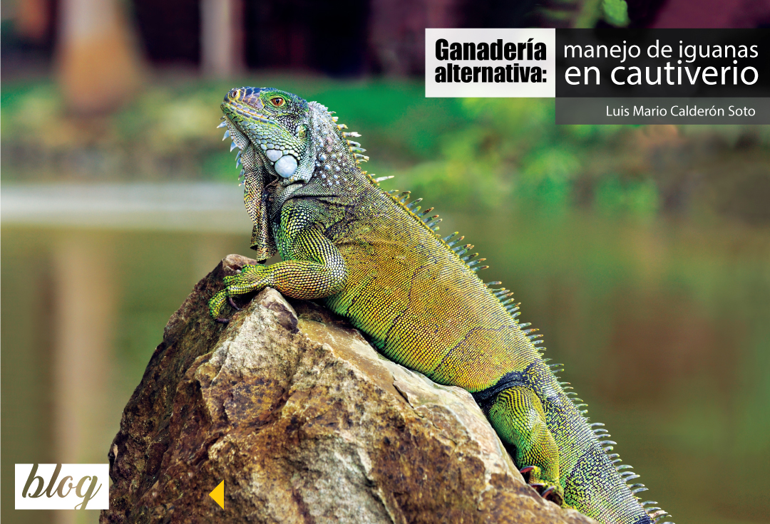 Iguana sobre roca. Fotografía por Cayambe (CC BY-SA 3.0)