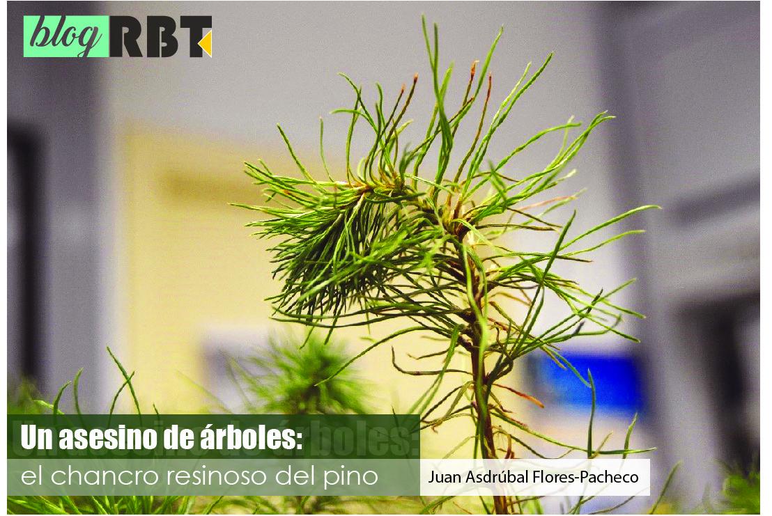Plántula de Pinus radiata de dos años con síntomas de afectación de Fusarium circinatum. Fotografía de Juan Asdrúbal Flores-Pacheco.
