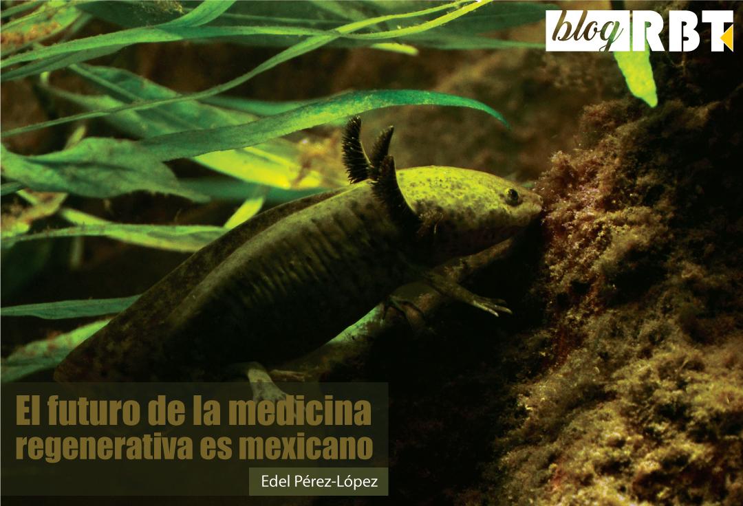Axolotl (Ambystoma mexicanum) en acuario, vista lateral. Fotografía de Vassil (Dominio Público)