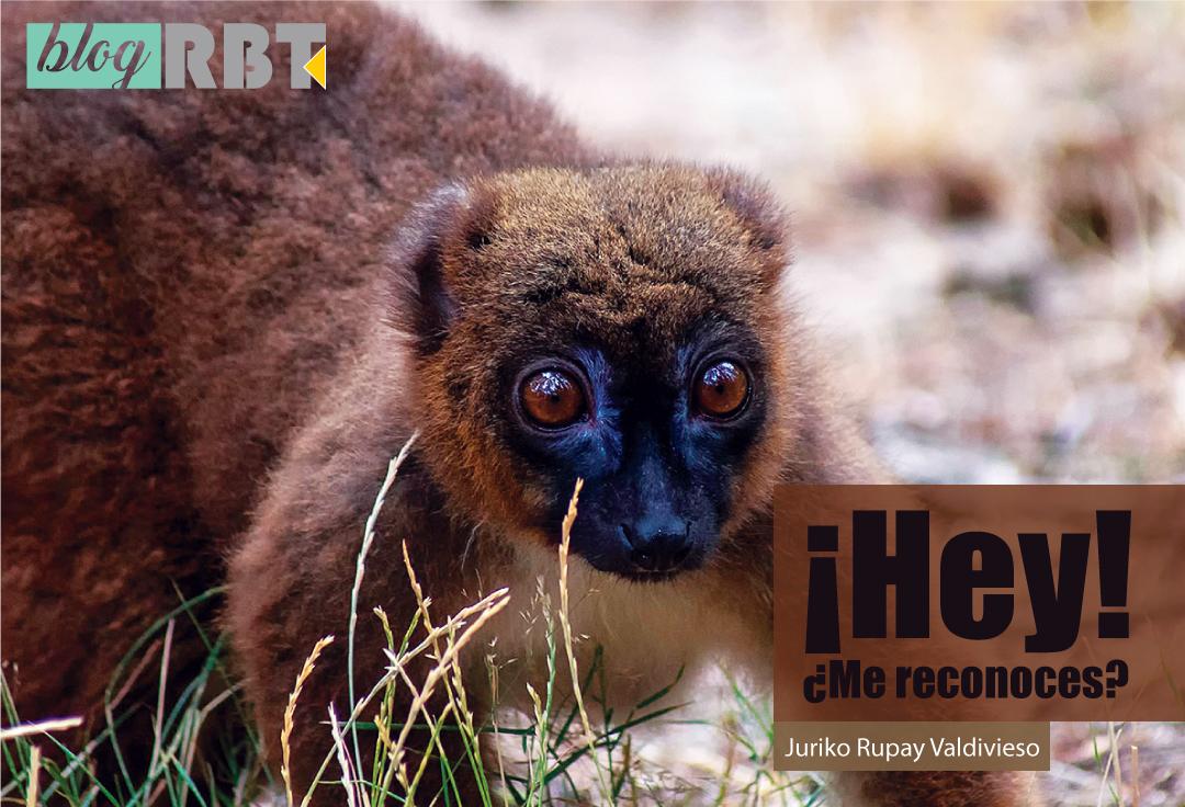 Lemur de vientre rojo (Eulemur rubriventer). Fotografía de Ouwesok (CC BY-NC 2.0)