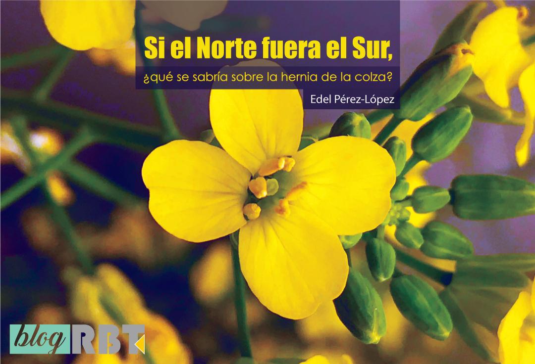 Flor amarilla de la colza. Fotografía de Edel Pérez-López