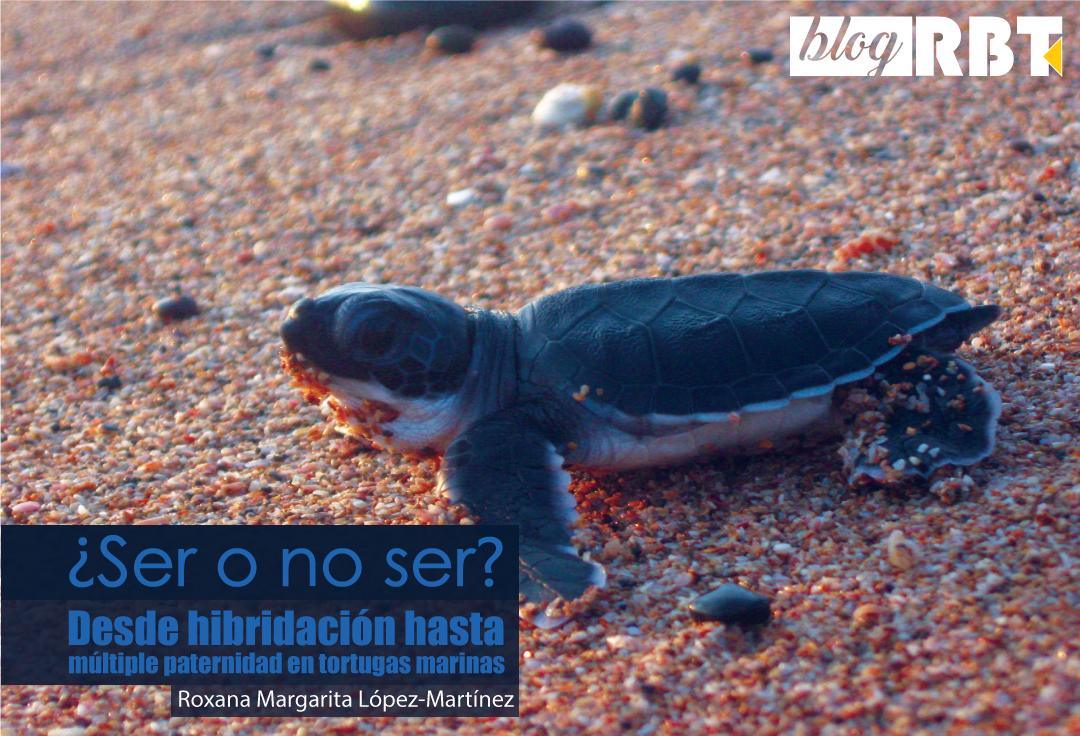 Neonato de Chelonia mydas agassizii. Fotografía de Roxana Margarita López-Martínez