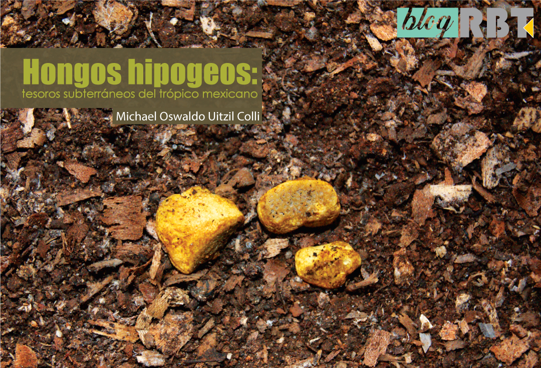 Cuerpo fructífero amarillento de Stephanospora mayana. Fotografía de Javier de la Fuente