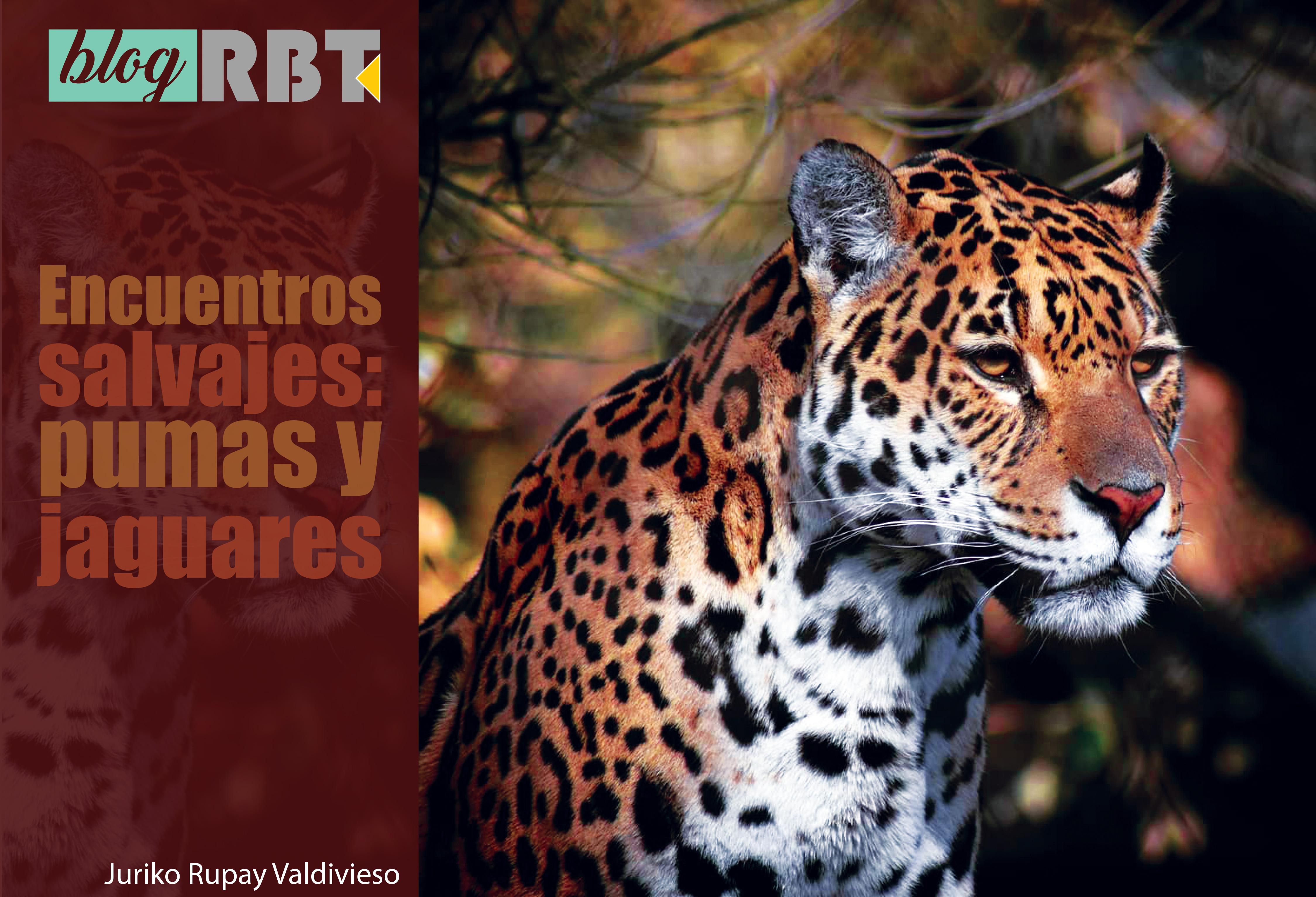 Ejemplar de jaguar hembra. Fotografía de Samantha Rozema