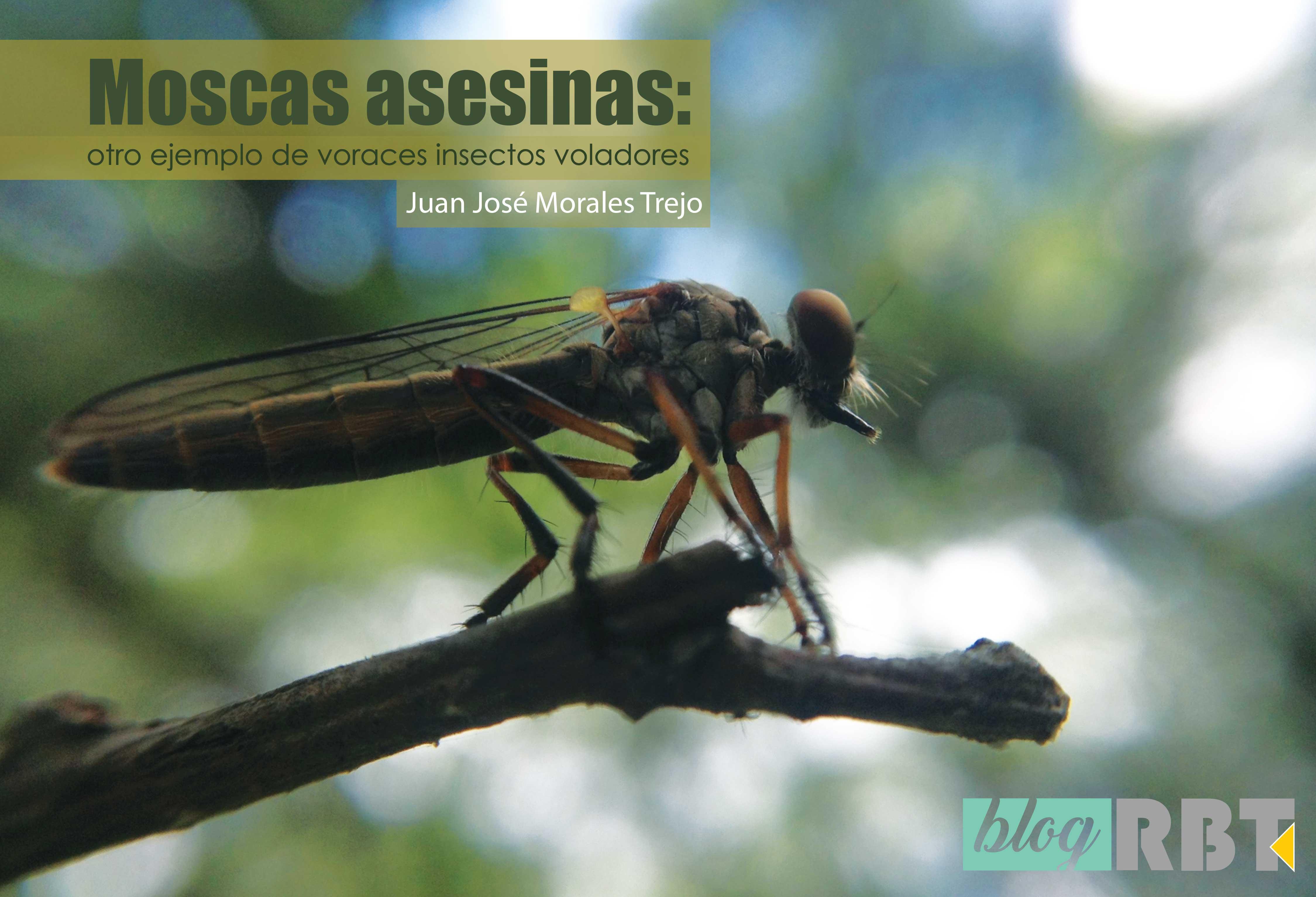 Mosca asesina de la subfamilia Asilinae sobre un tallo en el Parque Estatal Flor del Bosque, Puebla, México. Fotografía de Juan Mt (modificada, CC BY-NC-SA 4.0)