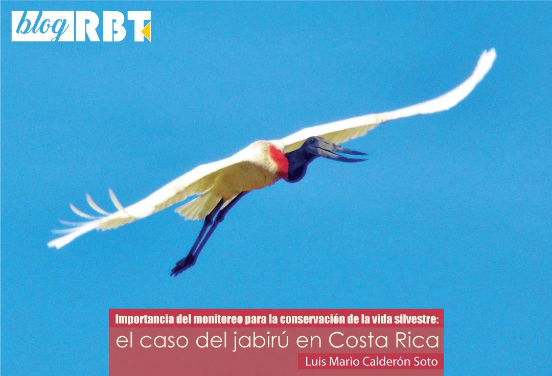 Jabirú en vuelo en Santa Cruz, Guanacaste, Costa Rica. Fuente: Roy Vallejos