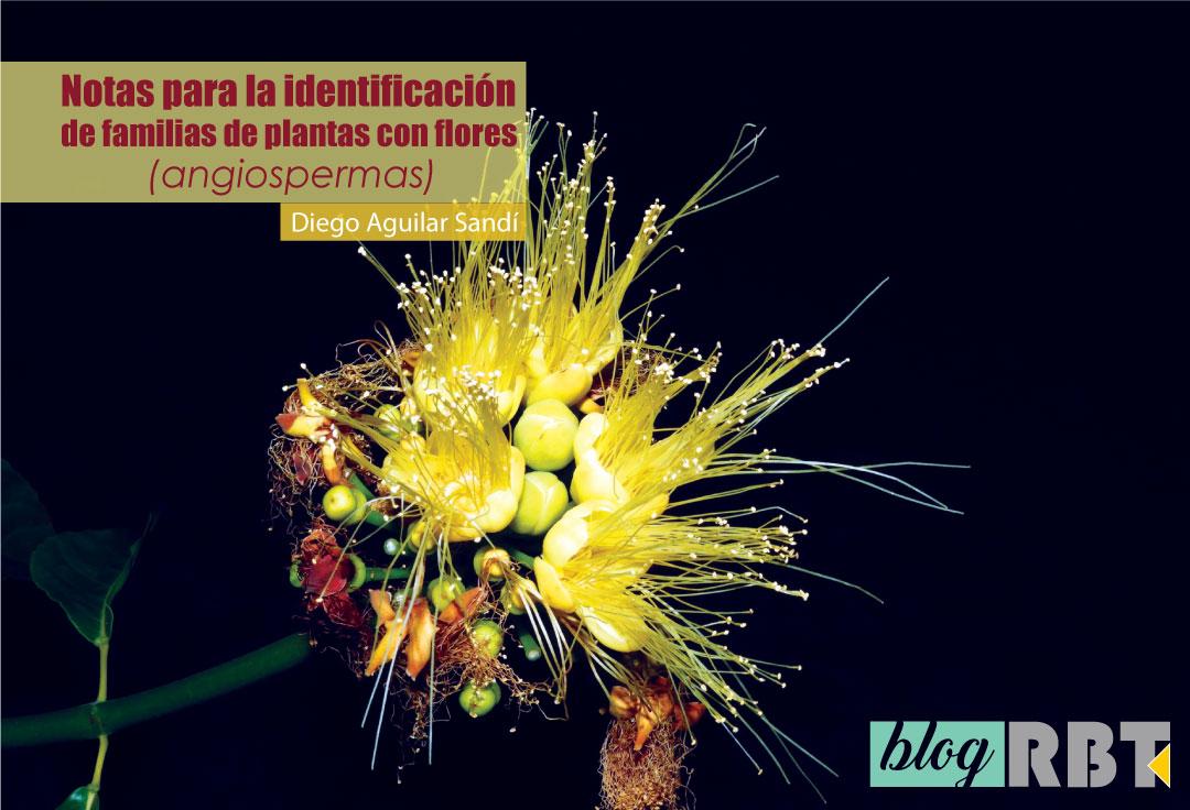 Flores amarillas del árbol de ajo (Caryocar costarricense, Caryocaraceae). Fuente: Reinaldo Aguilar (CC BY-NC-SA 2.0)