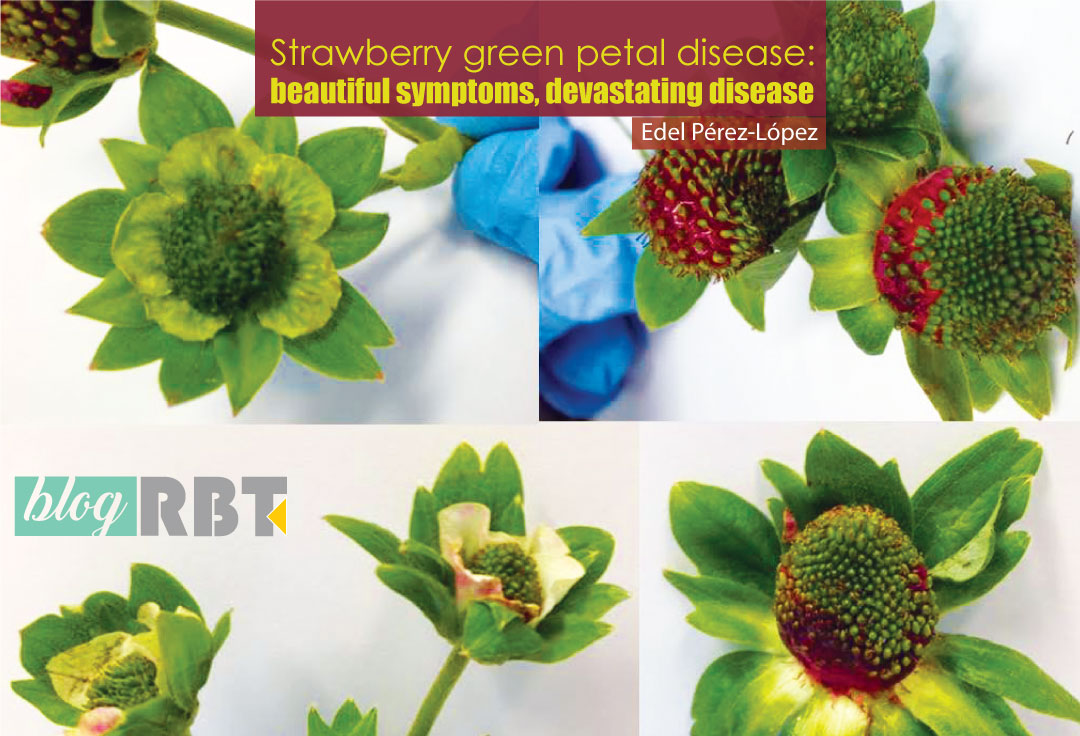 Strawberry green petal disease symptoms. Source: Edel Pérez-López