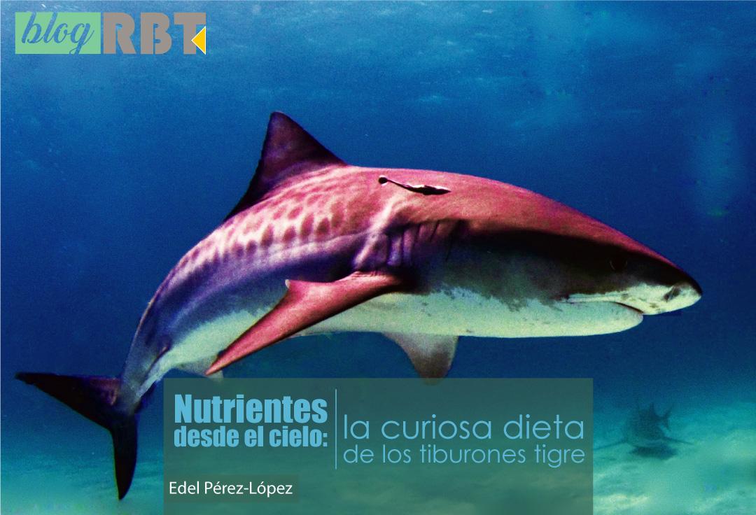 Tiburón Tigre (Galeocerdo cuvier). Fuente: Albert kok (CC BY-SA 3.0)