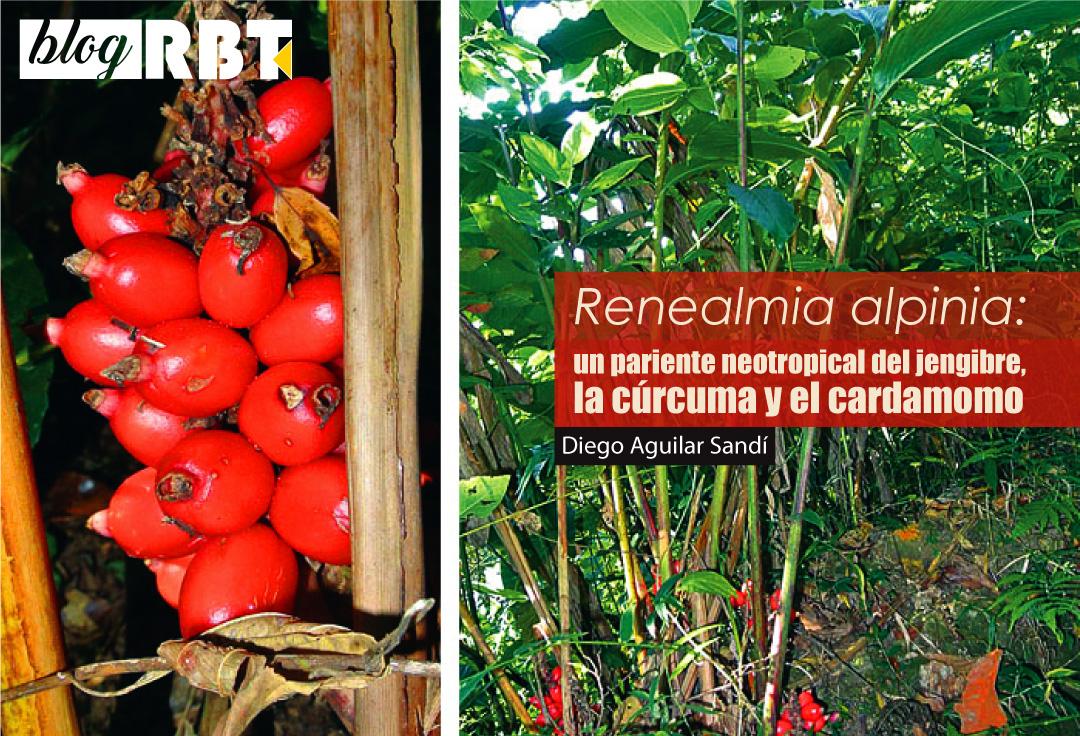 Renealmia alpinia (Zingiberaceae), hojas y frutos. Fuente: Dick Culbert (CC BY 2.0)