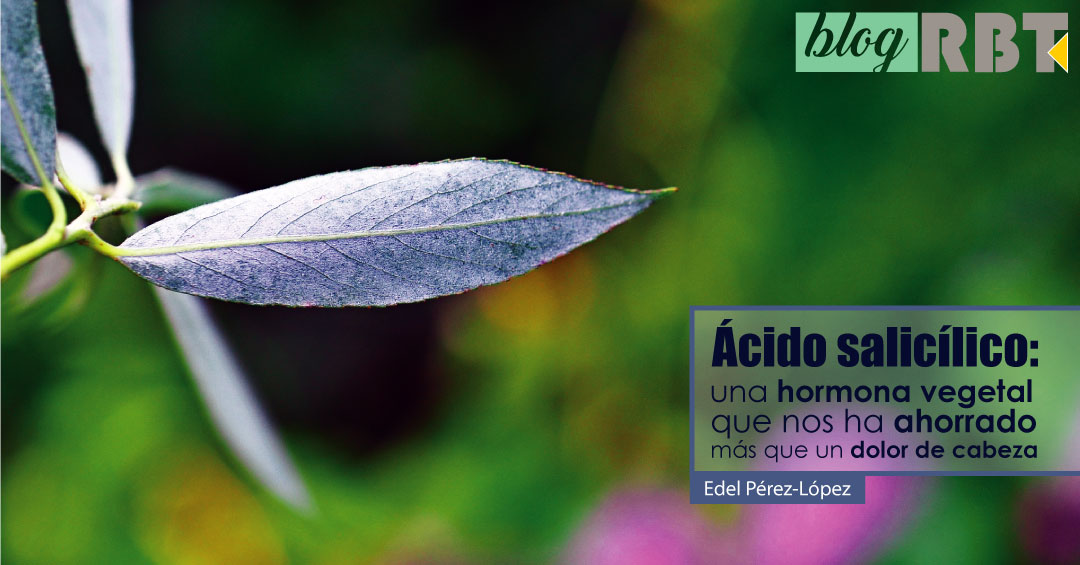 Rama de sauce blanco Salix alba. Fuente: José María Escolano (CC BY-NC-SA 2.0)
