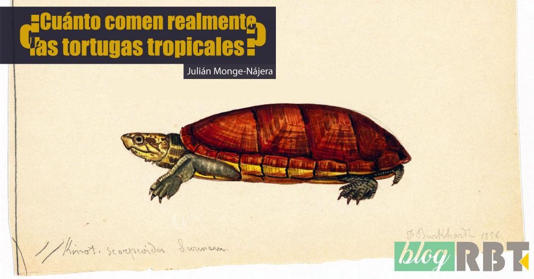 Ilustración de la tortuga Kinosternon scorpioides. Fuente: Ernst Mayr Library (CC BY-NC-SA 2.0)
