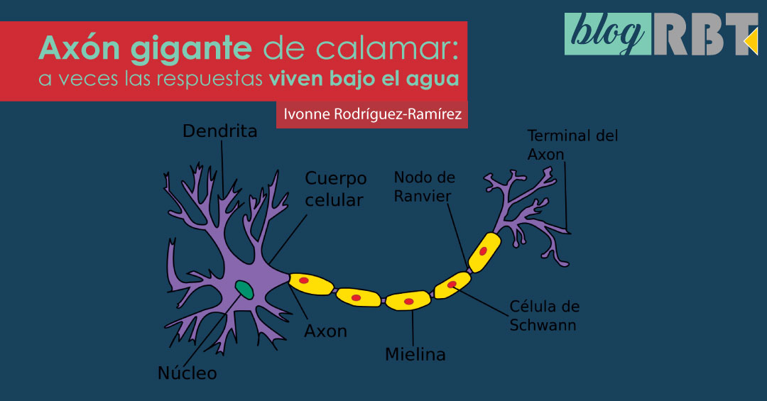 Ilustración de neurona. Fuente: US Federal, trad. Acracia (CC BY-SA 3.0)